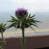 The Migration of the Thistle